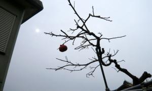 【速報】リアル浪漫農場の柿が1個しか残っていない。柿が残り少ない。柿の残りが1個になった。