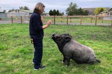 【画像】犬のようにお座りする賢い豚が話題