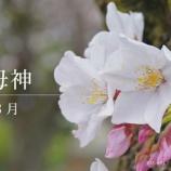 『【動画】201903桜3中山鬼子母神動画』の画像