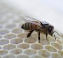 【画像あり】ミツバチ「背中にICチップ付けられた」