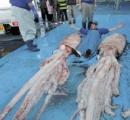 【画像】ダイオウイカ、石川県沖で1日に2匹も水揚げ…七尾市沖と能登町沖の定置網で