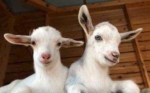 歯が生えた 2匹のヤギの赤ちゃん