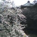 『桜に包まれる武道館』の画像
