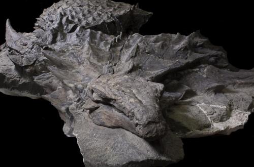 【画像あり】完全な姿を留めた恐竜のミイラ化石発見されるのサムネイル画像