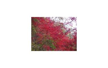 『遅い紅葉』の画像