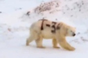 【ロシア】シロクマの体に「T-34」の落書き 獲物の捕獲に影響も