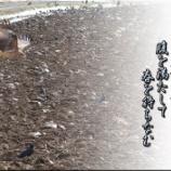 『餌に群がるトビ・カラス』の画像
