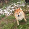 いろんな意味で春の雪をめいっぱい味わう柴犬