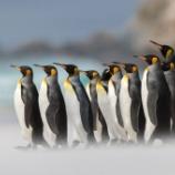 『王様ペンギンと皇帝ペンギン』の画像