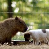 『「悟無好嫌」カピバラと犬たち』の画像