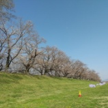 『八幡市の背割堤の桜並木を見に行ってまいりました。』の画像