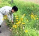 絶対に育ててはいけない黄色い花 オオキンケイギク、在来種に悪影響 - 福井