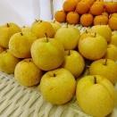 あきづき梨、かおり梨の収穫