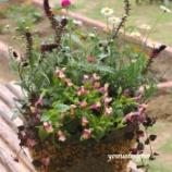 『トレニアとリシマキア・アトロプルプレアを編み目バスケットに植えて水ごけでマットを作りました!』の画像