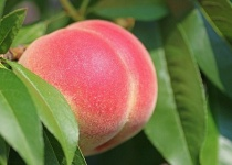 【悲報】女の子の名前に使っても違和感ない果物、桃と柚子しかない