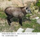 絶滅していなかった? ニホンカモシカ、愛媛県で50年ぶり確認
