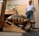 【動画】東京の街中をケヅメリクガメが歩き回る