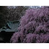 『2008桜』の画像