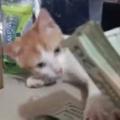 子ネコの隣でお父さんが「お札」を数えていた。邪魔しちゃう? → いいえ、子猫は手伝っているようです…