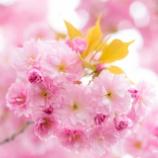 『豪華な桜Luxurious cherry blossoms.』の画像
