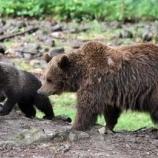 『【熊】ヒグマの子育て期間が1年延長されていた。子熊と一緒だと撃たれないことに気付いたか』の画像
