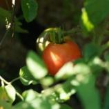『庭観察日記 8/4  トマト収穫』の画像