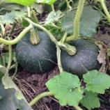 『家庭菜園かららっきょう少し収穫してきた』の画像