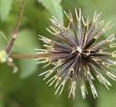 引っ付き虫とかいう冬の一大植物w