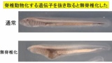 人類「ヤツメウナギの遺伝子壊したら無脊椎動物に先祖返りしてワロタ」(※画像あり)