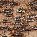 もしアリが人間サイズになったら1日足らずで人類が絶滅するという事実
