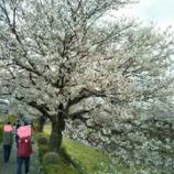 『【長崎】さくら道 お散歩♪』の画像