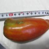 『2019年 Dトマト収穫』の画像