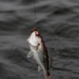 『8月30日 釣果 イシモチ釣 トップレンジ釣り教室』の画像