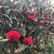 庭の花 「インドシャクナゲ」