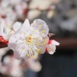 『【写真】RX1 - 小岩・亀戸・平井の梅・桜』の画像