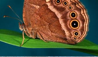 【進化生物学】チョウの翅(はね)の色、数世代で急速に進化