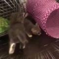 子ネコたちが部屋の中で元気に遊んでいた。床に座ってその様子を見ていた → 1匹はこうなった…