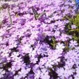 『芝桜と蝶』の画像