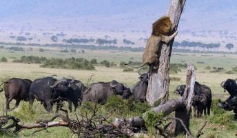 ケニアのライオン バッファローの群れにビビって木に必死に捕まる