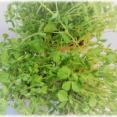 豆苗という名の緑黄色非常食野菜。