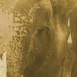『人の欲望のために切り取られるゾウのしっぽ』の画像
