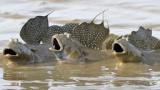 【画像】彡(゚)(゚)←こいつそっくりな魚見つけたンゴwwwwww
