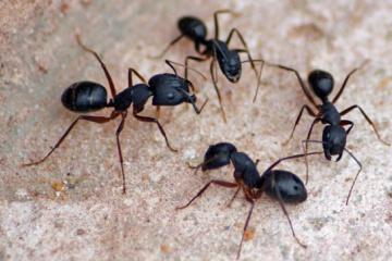 もしアリが人間サイズになったら1日でアリ以外の生物が絶滅するらしい