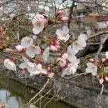 『春です、桜です スマホカメラです』の画像