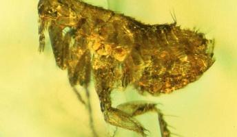 琥珀に閉じ込められた二千万年前のノミから、かつて欧州の人口を半分にした黒死病バクテリアが見つかる