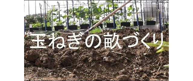 玉ねぎの畝を耕しました