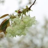 『さまざまな美しい桜』の画像