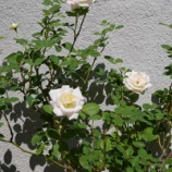 『庭のバラと秋の訪れ 』の画像