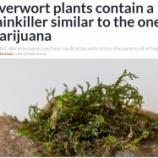 『苔にも大麻と同じような成分』の画像