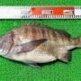 タイラバで50cmのノッコミ黒鯛